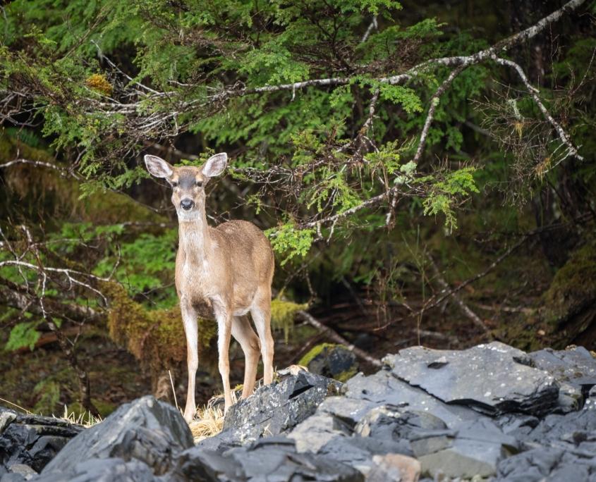 sitka deer hunting